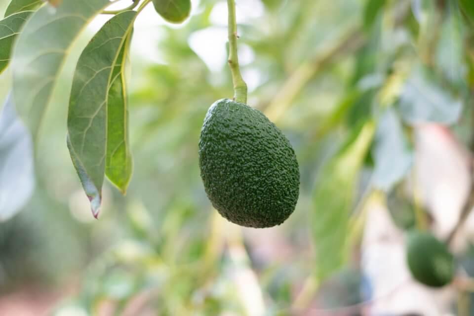 Avocado tree in the jungle